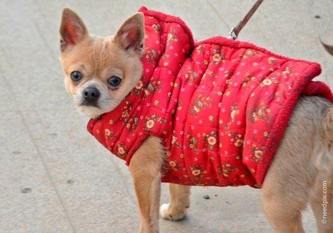На прогулку зимой чихуахуа нужно тепло одевать
