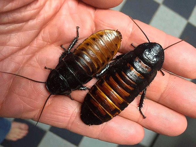 на руке два мадагаскарских таракана