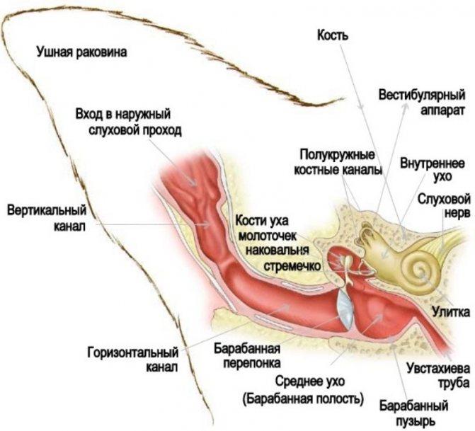 На схеме строения органа слуха видны три отдела