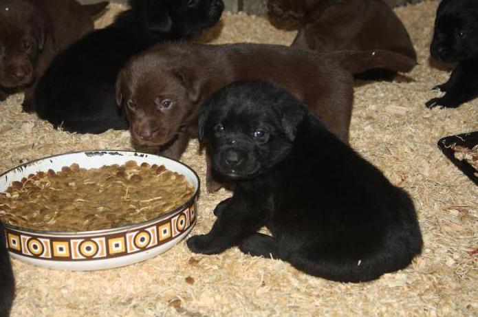 надо ли размачивать сухой корм для щенков