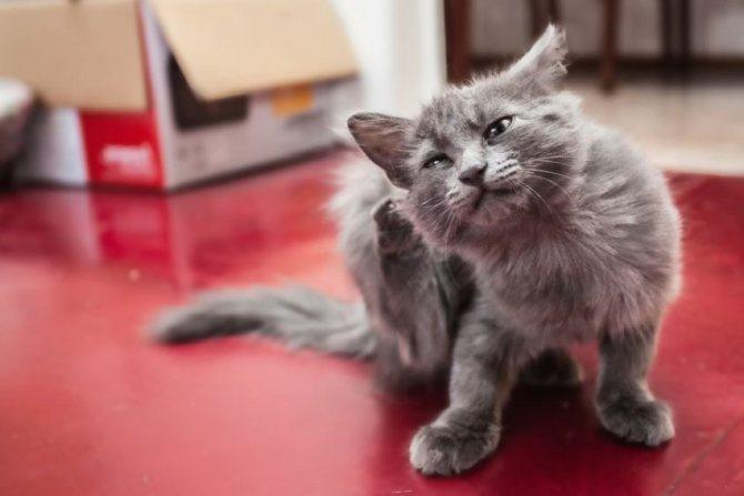 Надоедливый зуд может привести к тому, что кот начнет повреждать свою кожу