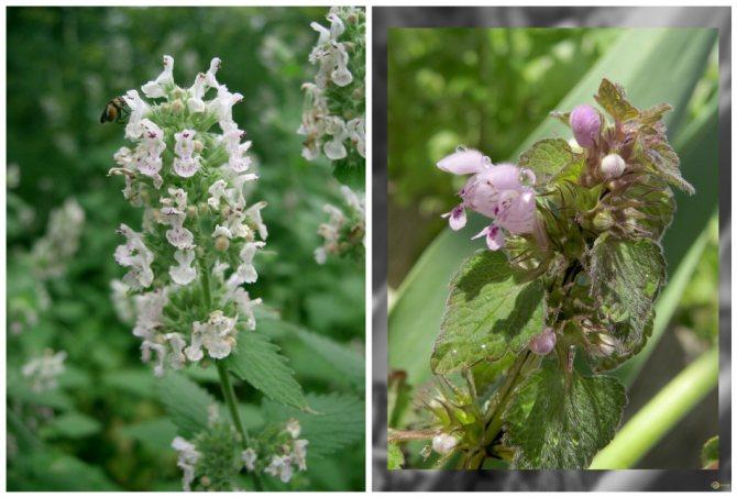 Наглядный пример различия между цветками