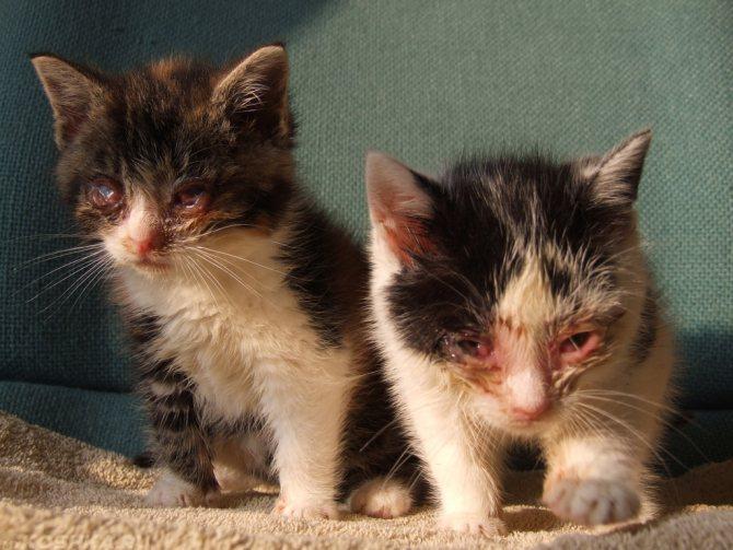 Наиболее уязвимы к ринотрахеиту котята, так как их иммунитет еще не до конца сформирован