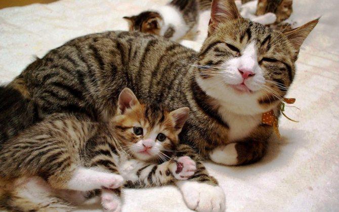 Народные средства при мастите у кошек