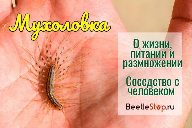 Насекомое мухоловка