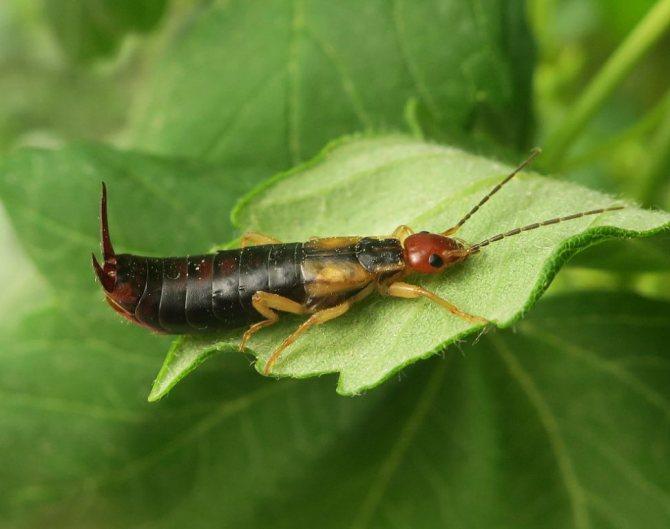 насекомое уховертка