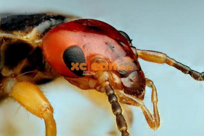 насекомое вилохвостка