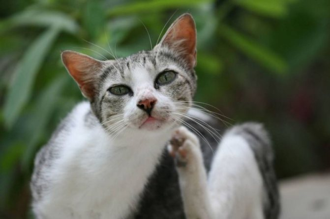 Насморк при аллергии у кошек