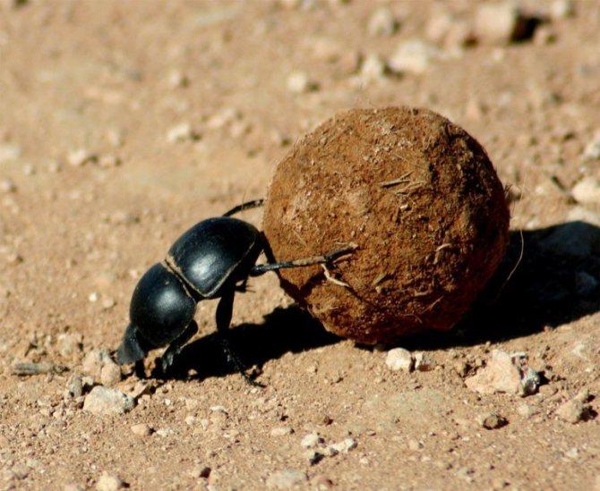 Навозные жуки