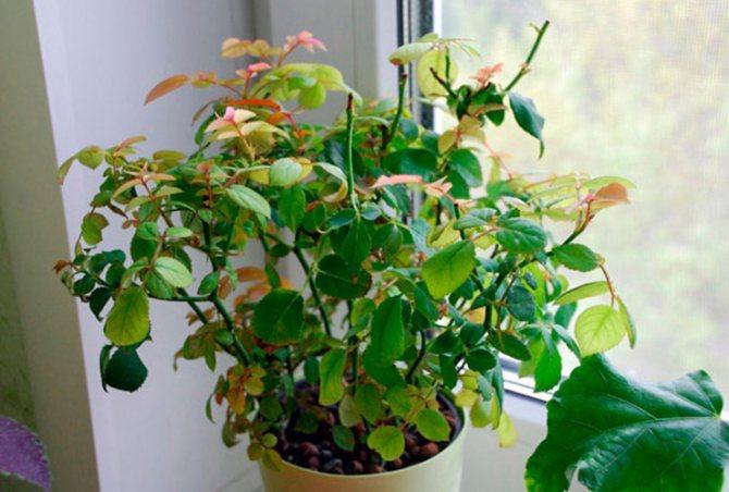 Не пораженная паутинным клещом домашняя роза
