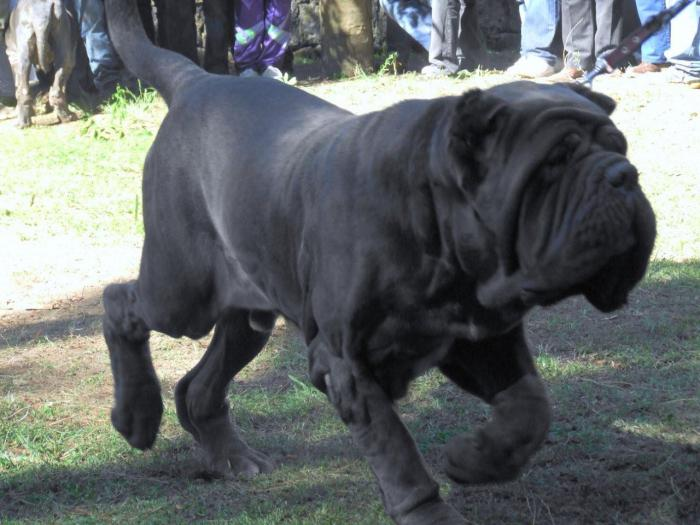 неаполитанский мастиф цена щенка