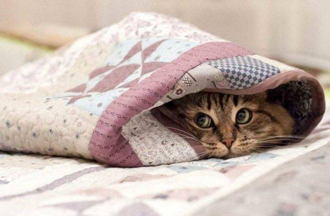 Нефрит у кошек