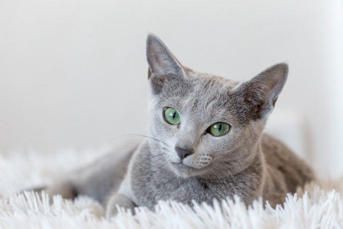Нефрит у кота хроническая форма Острый нефрит у кота