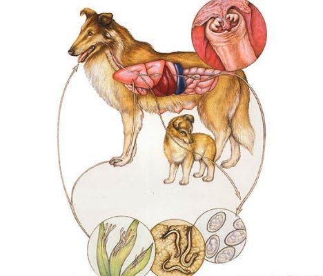 нематоды у собак