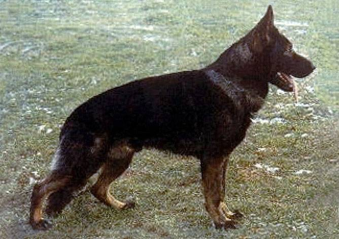 Немецкая овчарка - чешская/словацкая линия