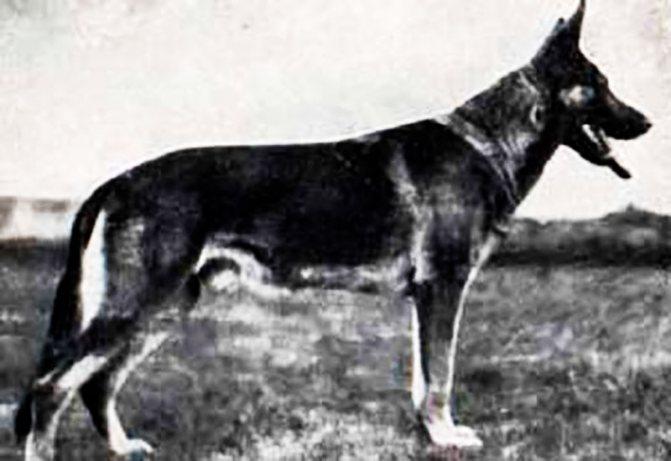 Немецкая овчарка фото 20-ого века