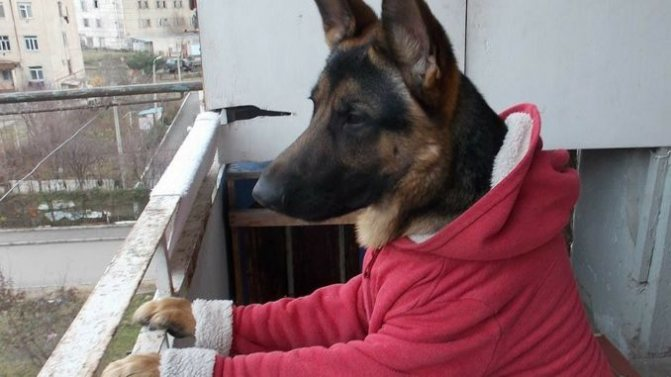 Немецкая овчарка на балконе