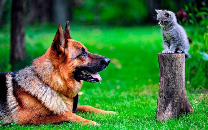 Немецкая овчарка с котиком