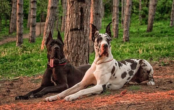 Немецкий-дог-собака-Описание-особенности-виды-характер-и-фото-немецкого-дога-7