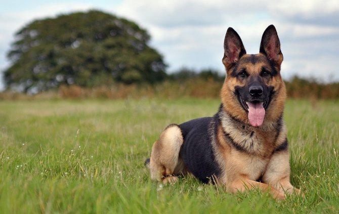 Nemetskaya ovcharka - Топ 10 самых умных собак в мире