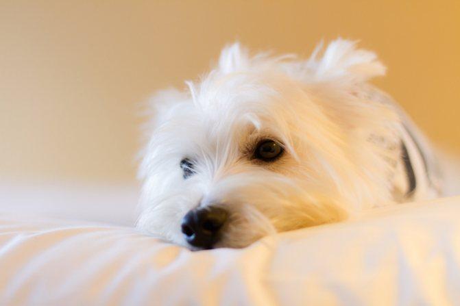 Неопасные причины желтой рвоты у собак