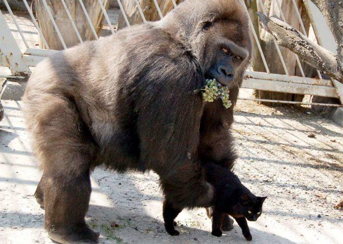 Неразлучная парочка: кот и горилла подружились в ростовском зоопарке