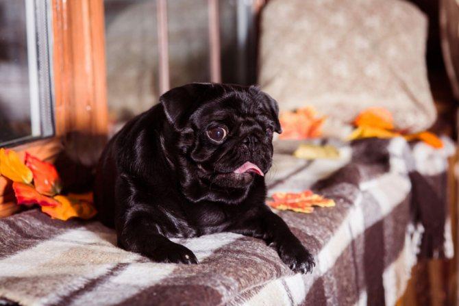 Нервные расстройства после ложной беременности у собак