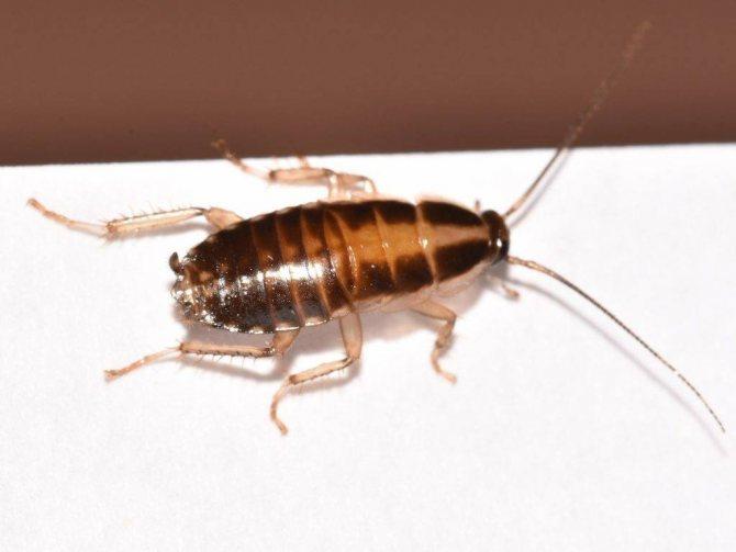 Нимфа рыжего таракана фото