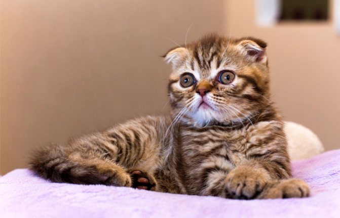 Нормы веса шотландских котят