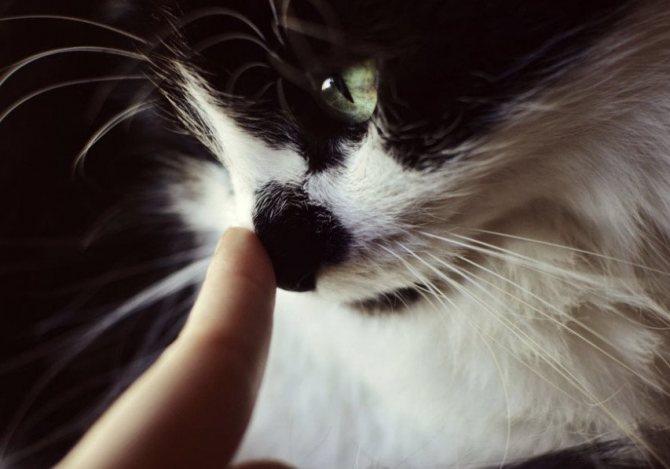 Нос кошки