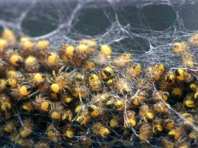 Новорожденные пауки
