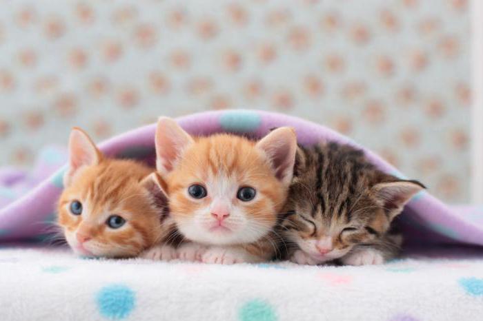 нужно ли размачивать сухой корм кошкам