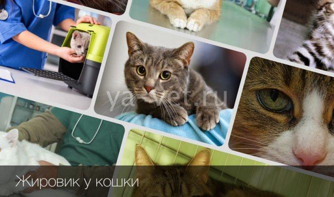 Нужно ли удалять жировик у кошки? Липома: признаки и лечение жировиков у кошки.