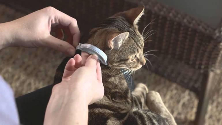 Нужно приучить кота носить ошейник,
