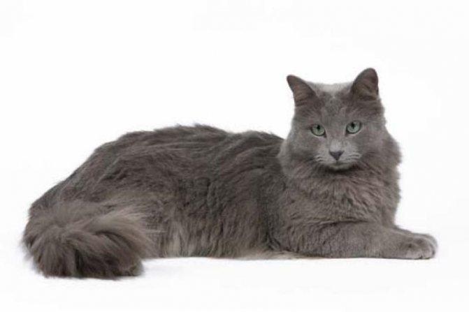 О породе кошек нибелунг