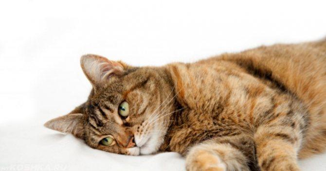 Обессиленная кошка.jpg