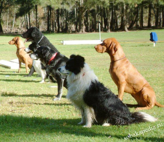 Обидиенс — общедисциплинарная подготовка животного