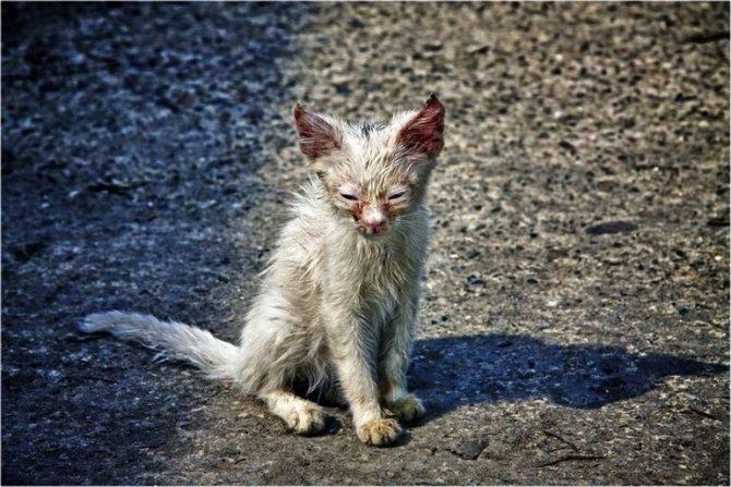 Облезлый и худой кот