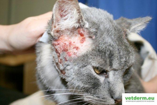 Обнаружена экзема у кошки: что это за недуг и как с ним бороться