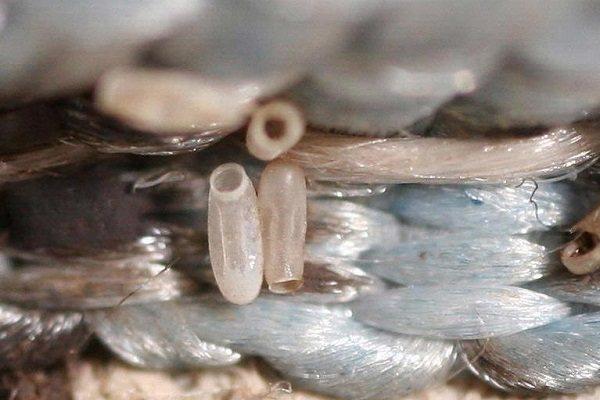 Обнаруженные яйца клопов, от которых нужно избавляться