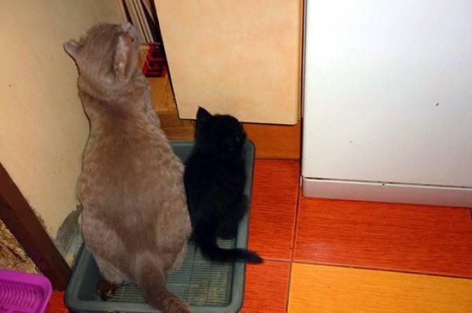Обычно, котенка к горшку приучает его мам-кошка.