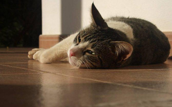 Обычно судорожный припадок у кошки продолжается не более трех, четырёх минут