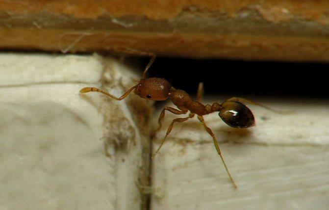Обыкновенный домашний муравей