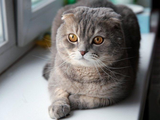 Обзор кличек мальчиков и девочек для шотландских вислоухих кошек