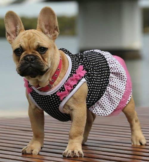 Одежда для французского бульдога - платье