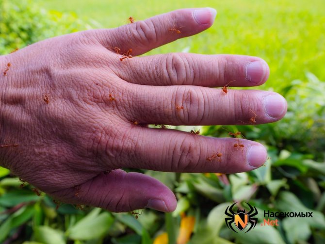 Огненные муравьи на руке