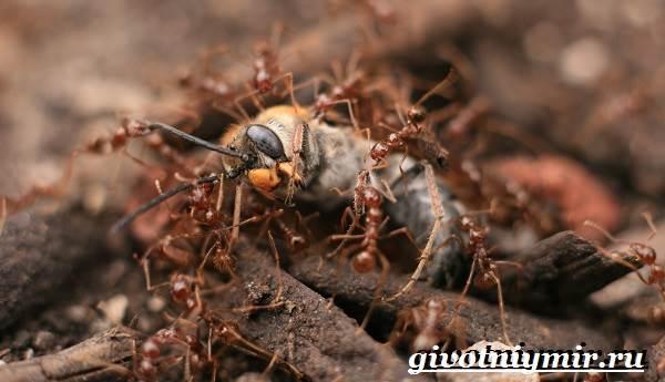 Огненные-муравьи-образ-жизни-и-среда-обитания-огненных-муравьёв-6