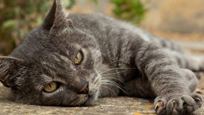 Огуречный цепень дипилидиоз у кошек лечение симптомы