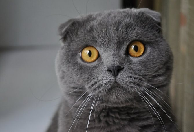 ОХД у шотландских кошек как распознать и лечить заболевание