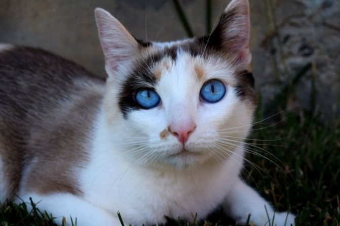 охос азулес котята